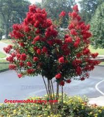 dynamite crape myrtle trees small flowering tree my yard