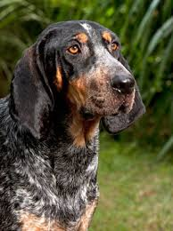 bluetick coonhound rescue illinois bluetick coonhound breed information