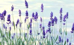lavender flowers the plant s beauty alone relaxes me can t wait to get home and