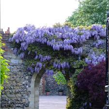 sale unique bonsai plants purple wisteria tree seeds indoor