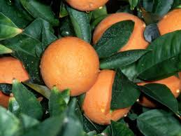 how to protect citrus trees from frost hgtv