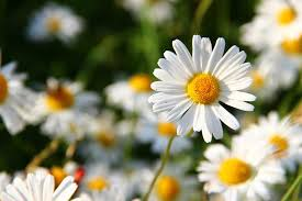 image of spring flowers learn about nature spring flowers daisy flowers learn about