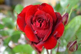 10 hochzeitstag rosenhochzeit hochzeitstage immer ein grund zum feiern fräulein wunderblume