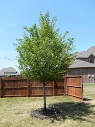 allee elm tree available at treeland nursery very fast growing