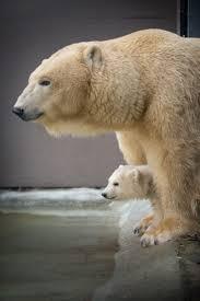 best 25 polar bears ideas on pinterest polar bear polar bear