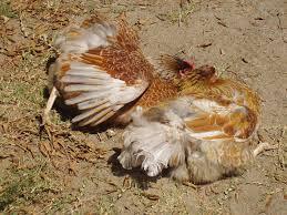 dead or sunbathing pics backyard chickens