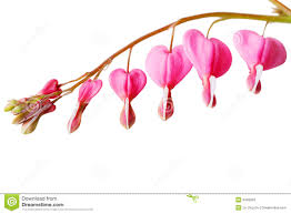 Bleeding Hearts Flowers Bleeding Heart Flower Stock Photos Image 9406903