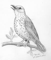 bird drawing pencil sketch of fledgling by thekestrelandthesea