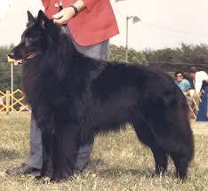belgian sheepdog groenendael rescue 1986 romulus mi belgian sheepdog club of america