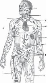 lymphatic system medical terminology worksheet archives anatomy