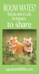 live together can two hamsters live together in the same cage squeaks and nibbles