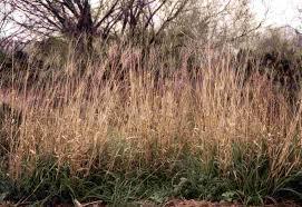 planting native grasses grazing management