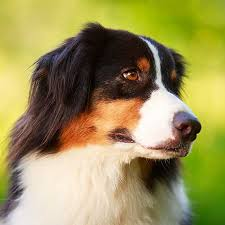 australian shepherd joint problems meds for dogs