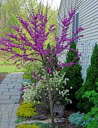 oklahoma native plants cercis reniformis u0027oklahoma u0027 this variety of redbud is similar to