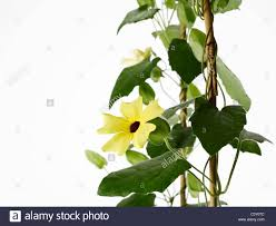 trellis vine stock photos u0026 trellis vine stock images alamy