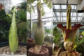 watch the rare bloom of a corpse flower mental floss