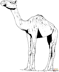 unique camel coloring page 22 in line drawings with camel coloring