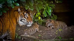 tiger highlights 2015 wwf tigers