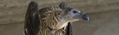 Seeking Vulture Vultures And Diclofenac