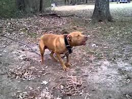 american pitbull terrier jeep bloodline redboy and chinaman pitbull youtube
