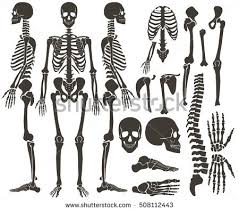 Skeletal Picture Of Foot Human Skeleton Stock Images Royalty Free Images U0026 Vectors