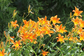 day lilies orange daylily is the common name of this perennial