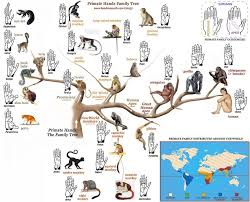 primate hands family tree via evolutionevidence org maps