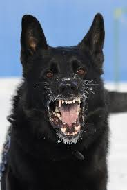 belgian shepherd rescue qld 25 best ideas about buy german shepherd on pinterest german