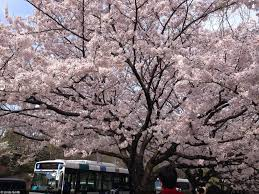 how to celebrate the cherry blossom festival in japan indie