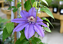 how u0026 when to prune a clematis climbing vine fairview