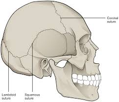 Anatomy Of The Human Body Bones What Are The Fused Bones In Human Skeletal System Socratic