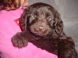 goldendoodle puppy virginia labradoodle puppy for sale goldendoodle puppy for sale labradoodle