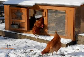getting your backyard chickens ready for winter city boy hens