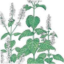Catnip Flower - peaceful valley organic catnip seeds groworganic com