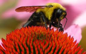 file bumble bee macro flower forestwander jpg wikimedia commons