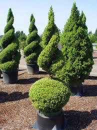 spirals shape it topiary topiaries