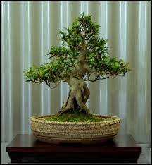 ray nesci bonsai nursery home 18 canberra nursery kensington palace reportedly upset over