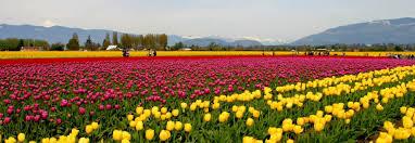 Tulip Field Skagit Valley Tulip Fields Crop Field In Washington Thousand