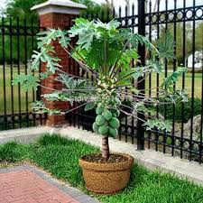 what is the best soil mix for growing papaya trees in containers