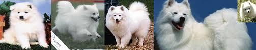 american eskimo dog michigan wright u0027s american eskimos american eskimo dogs and puppies