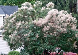 earth tones native plant nursery american smoketree cotinus obovatus north american native