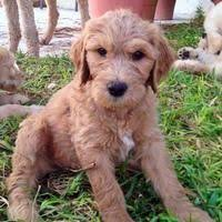 goldendoodle puppy treats 32 best for ender images on puppy treats