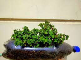 how to grow mint bottle plant gardening sekho in hindi urdu youtube