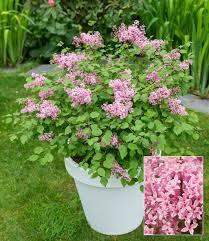 flieder balkon flieder flowerfest pink top qualität baldur garten