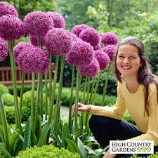 allium flowers allium flower bulbs ornamental bulbs high country gardens
