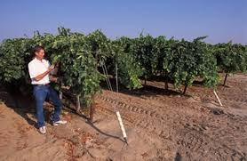 Planting Grapes In Backyard Grape Trellis Usage And Guidelines