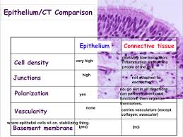 tissue types epithelium and connective tissue flashcards