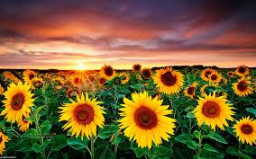 foto wallpaper bunga matahari gambar bunga matahari saat sunset photography pinterest sunset