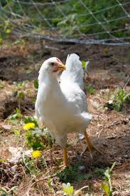 The Backyard Chicken by Plymouth Rock In The Backyard Farm With Diy Backyard Chickens