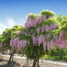 312 best ornamental trees and shrubs images on shrubs